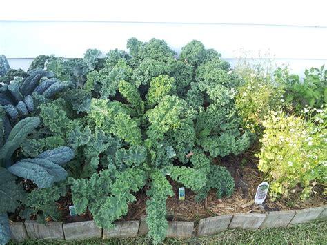 kale leafy greens juicer scotch lacinato curled garden