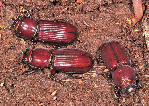 brown bess beetle