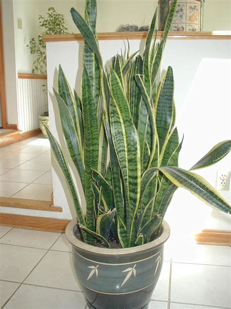 Snake Plant Benefits Benefit Of Plants Benefits Of Planting Trees