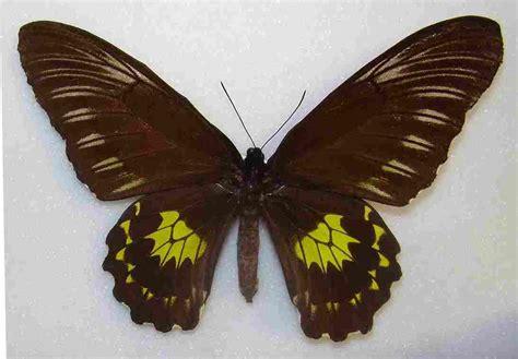 jenis  gambar kupu kupu langka  dilindungi