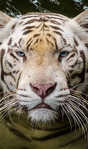 Tiger, tiger, burning bright.   Omar, one of the three ...