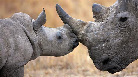 rhino hd wallpapers
