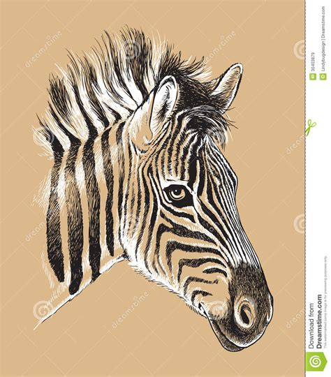 Sketch Of A Baby Zebras Face Royalty Free Stock Images