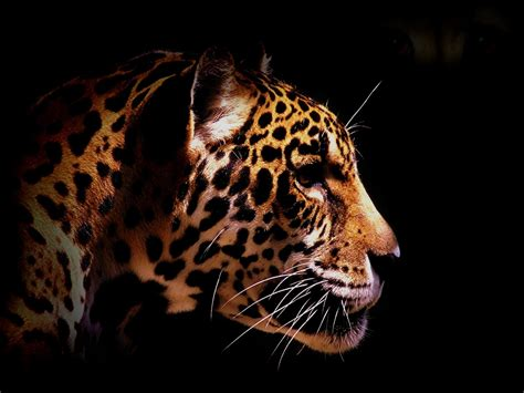 Animal Hd Wallpapers 1600x1200 - animals leopards black background 1600x1200 wallpaper high