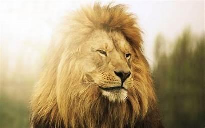 Lion Wallpapers Animal Nice Wallpaperboat