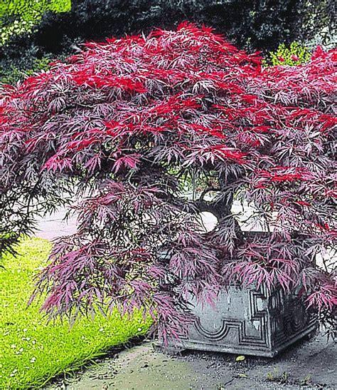 Japanischer Garten Bäume by Japanischer Ahorn Burgund G 228 Rten Garten Japanischer