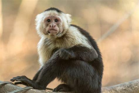 Gazgas Monkey 110 Image by White And Beige Monkey 183 Free Stock Photo
