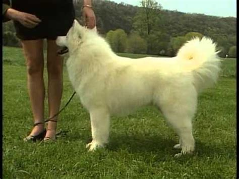 samoyed akc dog breed series youtube
