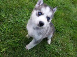 Husky Zu Verkaufen : sechs wunderbare sibirien husky welpen zu verkaufen in b nde von privat ~ Orissabook.com Haus und Dekorationen