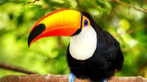 toucan bird wallpaper  wallpaper mobile phoneand pc