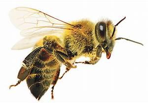 Warum Machen Bienen Honig : wieso weshalb warum honig j dische allgemeine ~ Whattoseeinmadrid.com Haus und Dekorationen