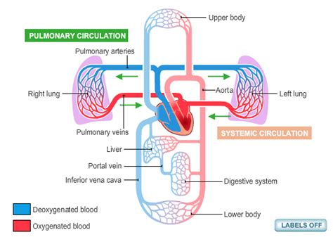 circulatory system diagram  health advisor