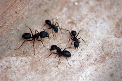 trucs et astuces repousser les fourmis