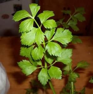 Apium graveolens (Wild Celery, Leaf Celery, Cutting Celery ...