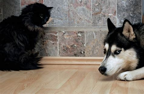 cat dogs scared dog cats husky everything along irritated crouching afraid shutterstock why foxes ask approaching manner silly together including