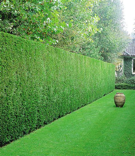 pflanzen für hecke leyland zypressen hecke 1a pflanzen kaufen baldur garten