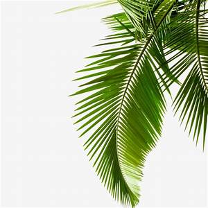 Green Palm Leaves, Palm Leaves, Leaves, Tropical PNG Image ...