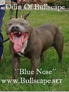 Pitbull Terriers Blue American Pitbull Terriers Blue American Pitbull      Bull Terrier Blue Nose Pitbull Mix