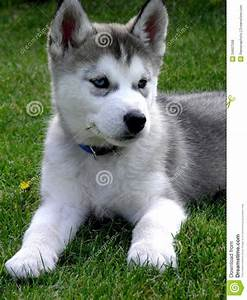 Breed Profile: Siberian Husky Sarasota Dog