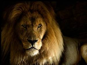 Lion Wallpaper HD Pictures | One HD Wallpaper Pictures ...
