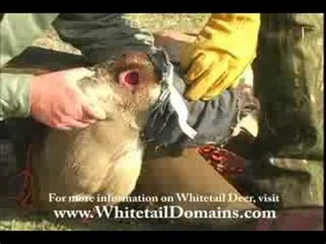 whitetail buck pedicle moments  shedding  antlers