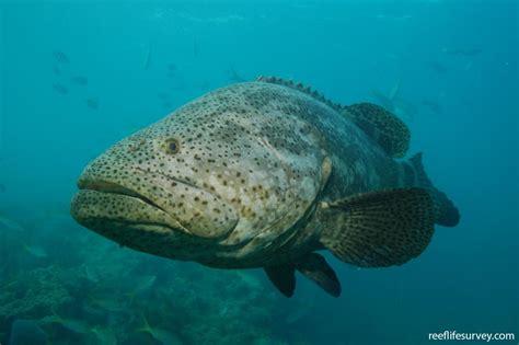 grouper goliath reeflifesurvey atlantic