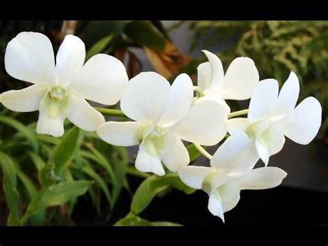 white orchid orchidaceae flowers bunga