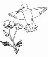 Coloring Hummingbird Calliope Flowers Hummingbirds sketch template
