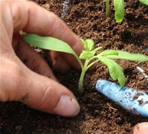 Salat Pflanzen Abstand : wie tomaten pflanzen n tzliche hinweise und tipps vom profi ~ Markanthonyermac.com Haus und Dekorationen