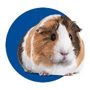 Guinea Pig Toys: Hamster Rabbit Ferret & Rat Toys Petco