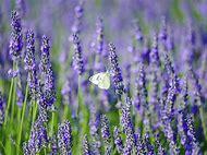 Lavender Plants Varieties