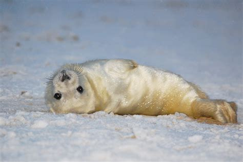 Europe Strengthens Ban On Seal Products After Wto