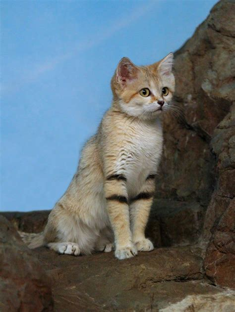 sand endangered arabian cat very wikimedia upload wikipe
