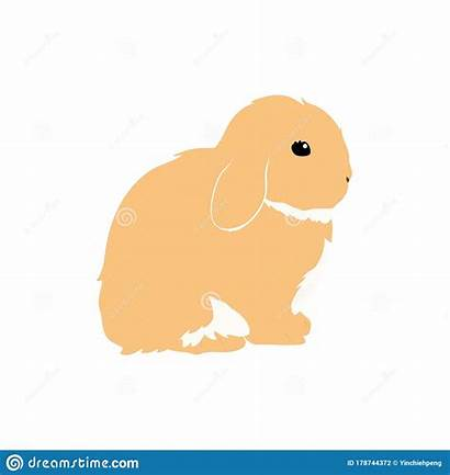 Lop Rabbit Holland Bunny Everything Pet Need