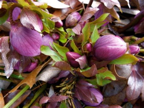 lenten plant care how to plant and care for lenten roses dengarden