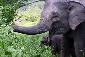 Sumatran elephants in Bukit Barisan Selatan National Park ...