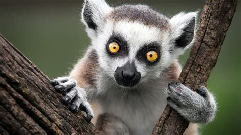 full hd wallpaper lemur muzzle amusing close  desktop