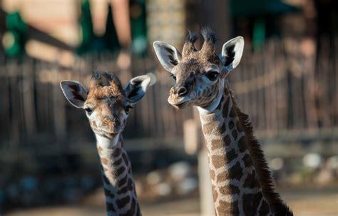 evening chill giraffes rhinoceros  houston zoo