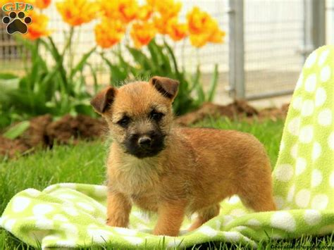 Cairn Terrier Puppies For Sale Cairn Terrier Dog Breed