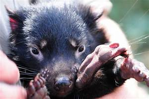 Tasmanian devils are adapting to their gnarly face cancer ...