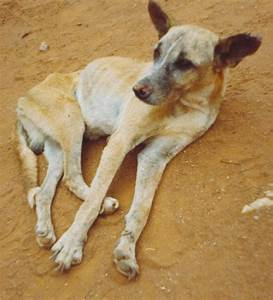 Canine leishmaniasis - Wikipedia
