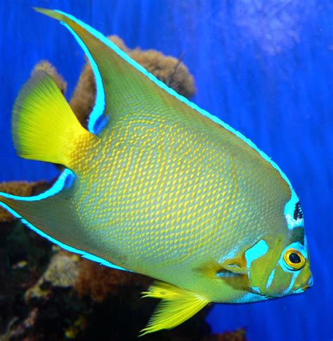 saltwater fish list of marine aquarium fish species wikipedia