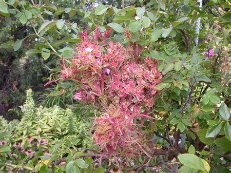 Rose Virus Now In Fl  Homosassa River Garden Club