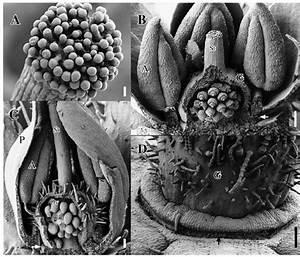 Ardisiandra Wettsteinii   Sems  A   Detail Of Mature