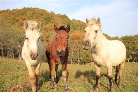 hokkaido horse native horses washu japanese pony minnano
