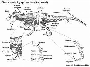 Bone Guide From Scott Hartman U0026 39 S Anatomy Page