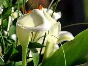 Calla Pflanze Giftig : schnittblumen die schnittblume ~ Frokenaadalensverden.com Haus und Dekorationen