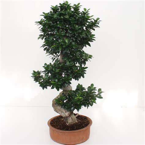 ficus ginseng bonsai bonsai ficus ginseng s shape 80 100 succulents cactus and bonsai florpagano di antonio pagano