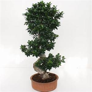 Bonsai Ficus Ginseng : bonsai ficus ginseng s shape 80 100 succulents cactus and bonsai florpagano di antonio pagano ~ Buech-reservation.com Haus und Dekorationen