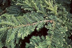 Taxus cuspidata Emerald Spreader™ | Landscape Plants ...